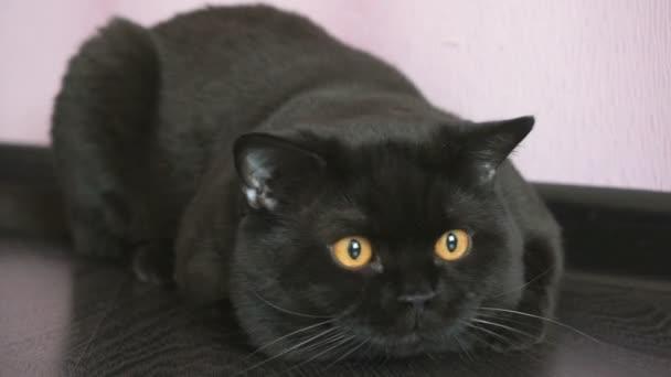 Černá britská kočka s oranžové oči Hunové pro hračky