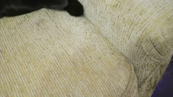 Britská černá kočka pózuje nohy nahoru na gauči