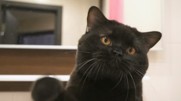 British black cat with orange eyes hunts its paw for the camera