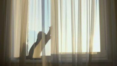 Grijze kat vergadering achter transparante gordijnen op de ...