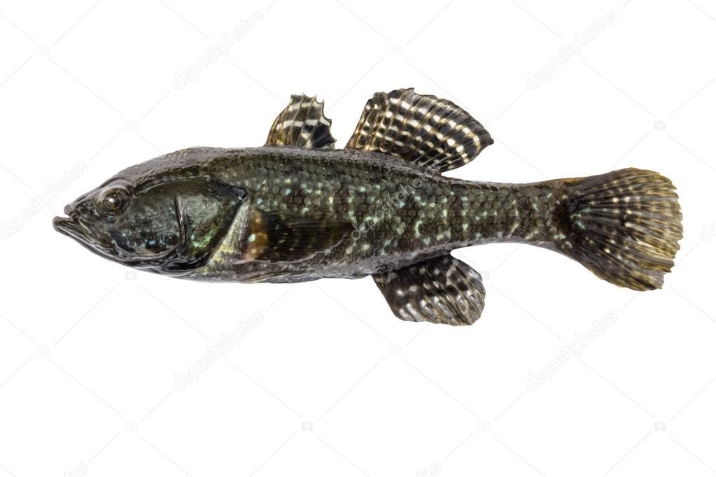 Freshwater predatory fish rotan, isolated Perccottus glenii, Amur Sleeper, side view