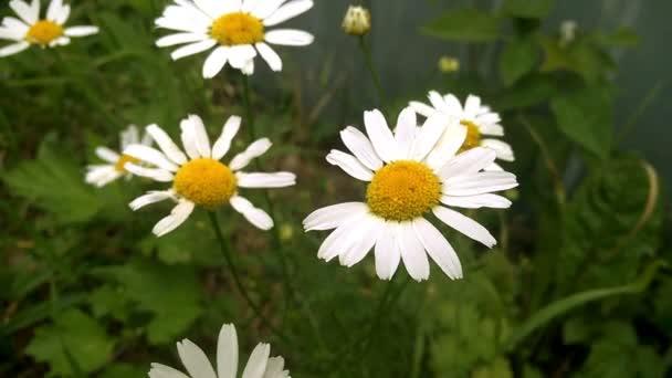 Chamomile flowers. Wind rustles daisy flowers