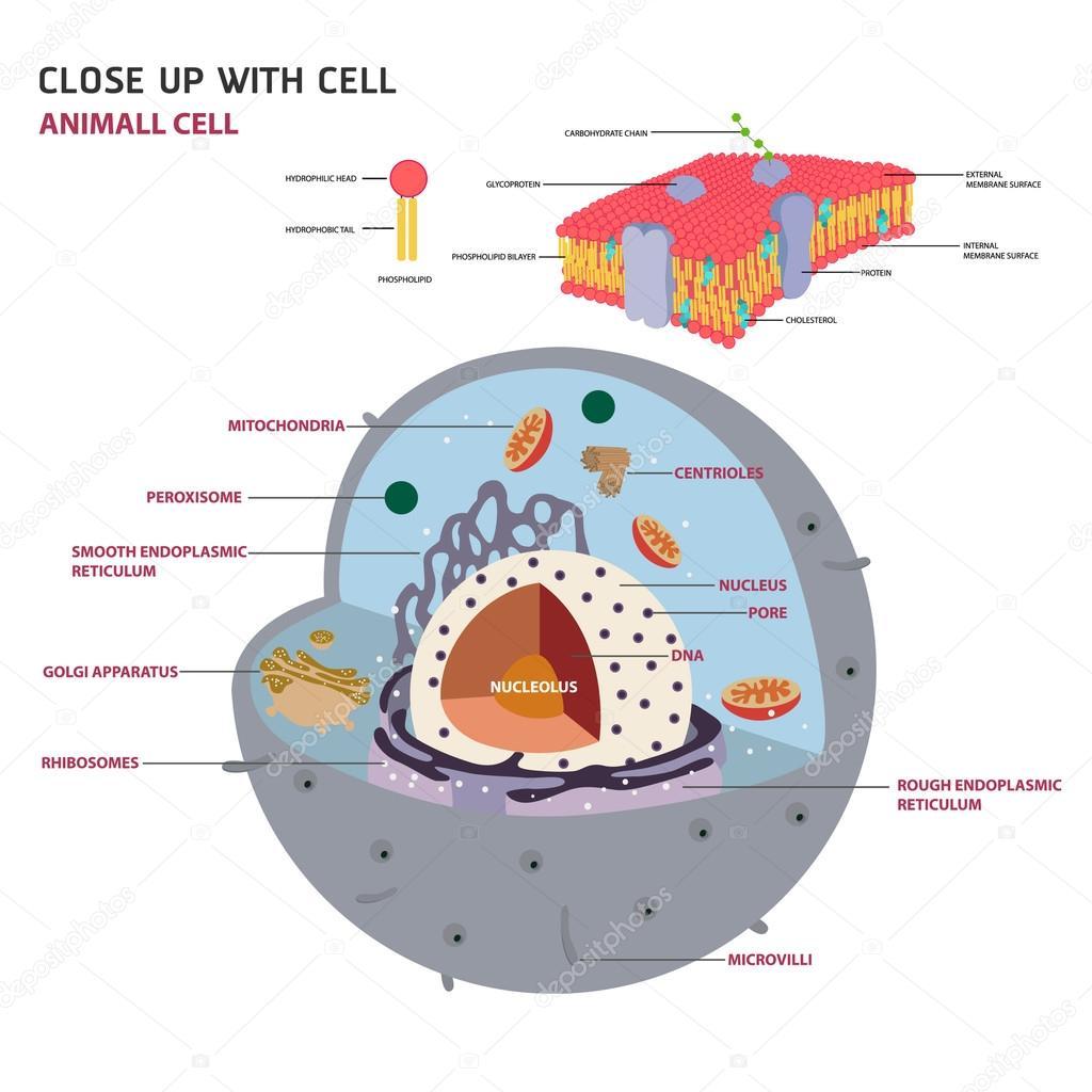 Imágenes La Celula Eucariota Célula Animal Cruz Sección