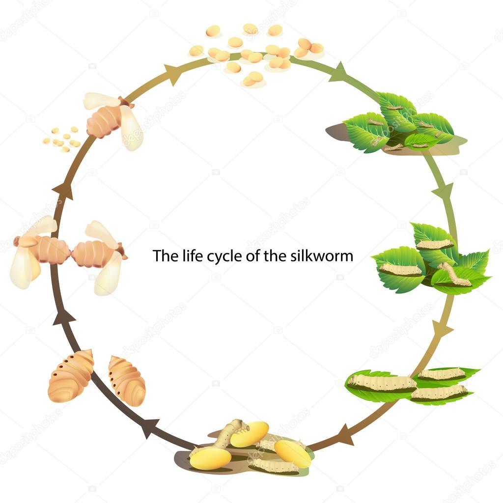 life cycle silk worm vrctor