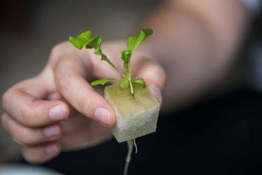 Vegetable seedlings Hydroponic, Plants in nursery tray.