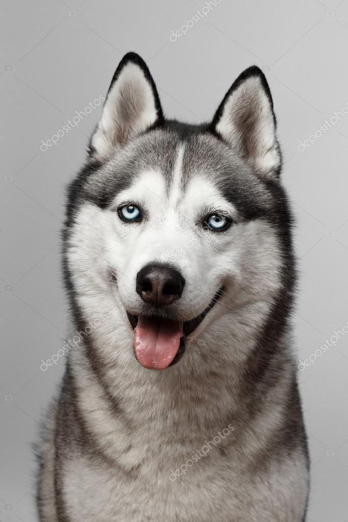 Adorable black and white with blue eyes Husky. on grey background. Focused at eye