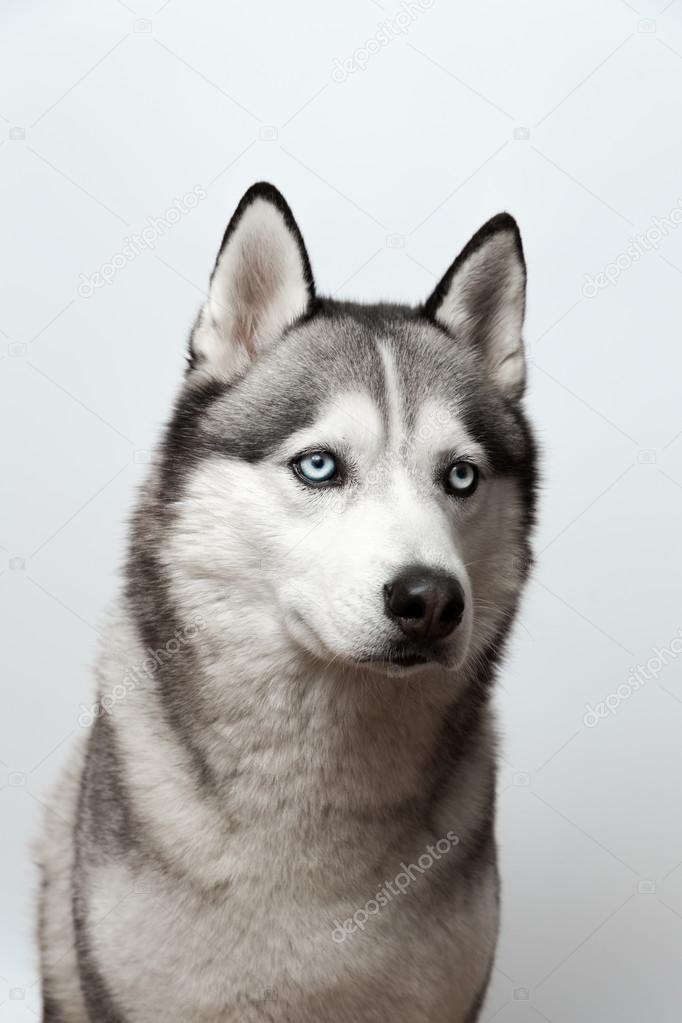 Adorabile bianco e nero con gli occhi azzurri husky su - Husky con occhi diversi ...