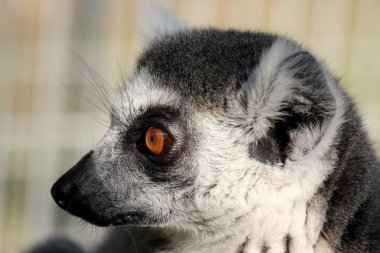 Ring-tailed lemur in the zoo