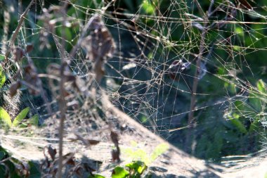 Close-up view of cobweb threads on leaves and branches of plants. Cobweb on a background of green leaves.