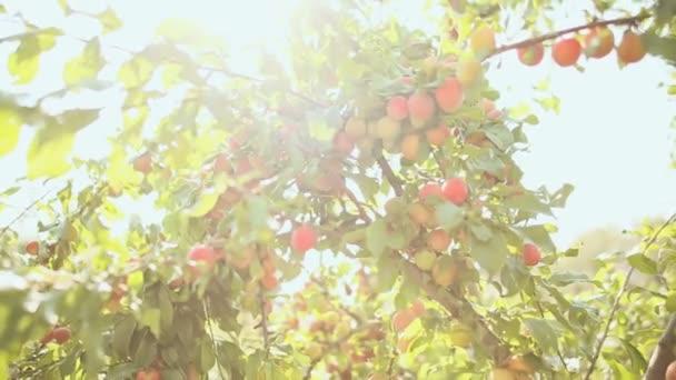 A fa gerendák nap érett szilva