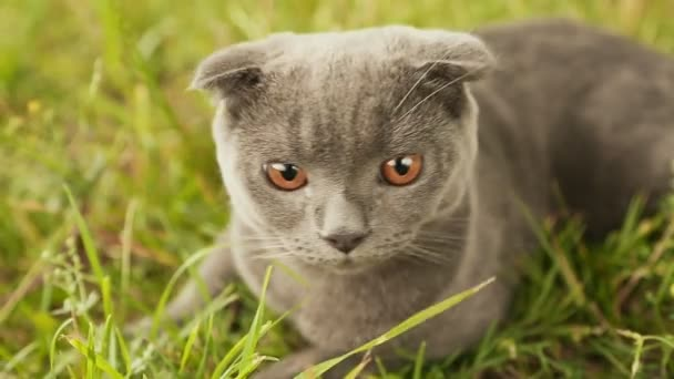 Scottish Fold cat lying in the grass. Close up.