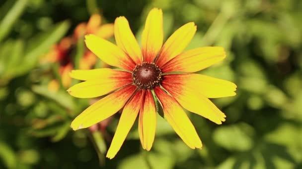 Rudbeckia hosszú szirmok sárga virág.