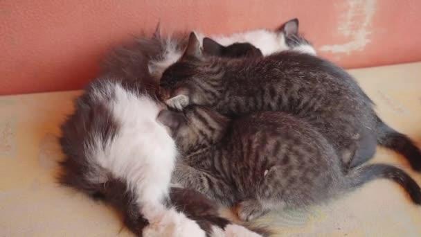 Koťata sají mléko z kočky na gauči.