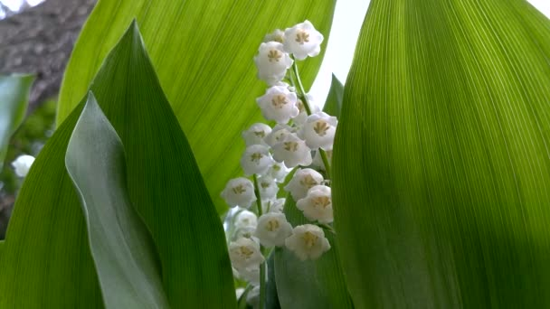White flowers of lilies of the valley in the park in spring.
