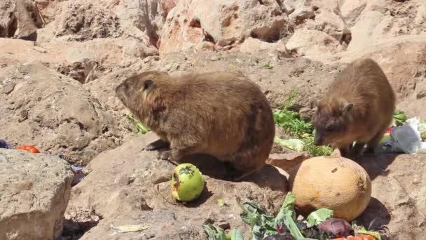 Conigli di montagna mangiano in un luogo adibito per lalimentazione a Rosh Hanikra, Israele