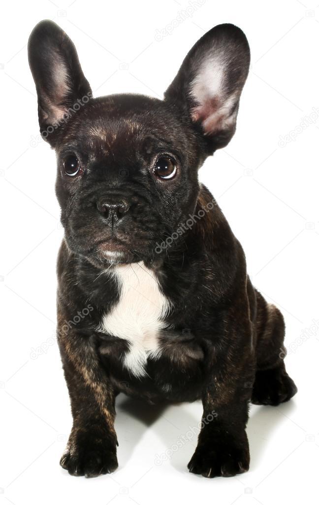 Cute Black French Bulldog Puppies Black French Bulldog Puppy Stock Photo C Upetrovic Hotmail Com 97724554