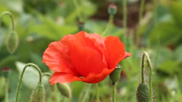 kvetoucí červený mák