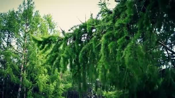 Většina vítr třese smrkové větve