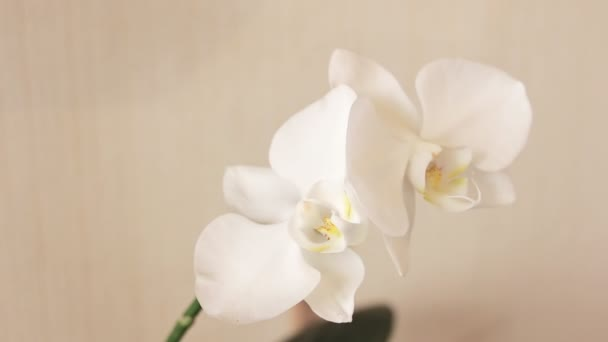 White Orchid closeup