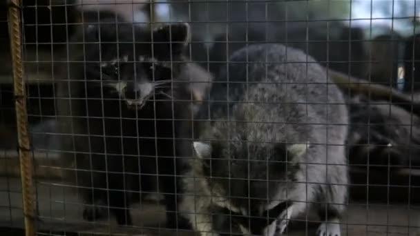 Raccoon Behind Bars In Zoo