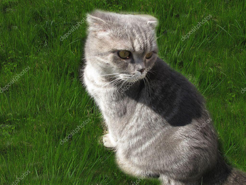 шотландская кошка прямоухая серая полосатая