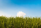 Green sugarcane field and blue sky
