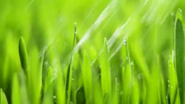 Čerstvá zelená tráva s kapkami deště, dešťové kapky v přírodě, jaro, vlhké klima, kapky rosy na zelené byliny, pšenice, žito