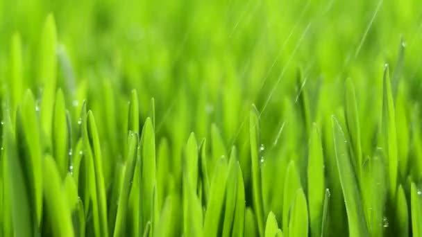 Fresh Green Grass with Rain Drops, Rainfall in Nature, Spring, Humid Climate, Dew Drops on Green Herb, Wheat, Rye