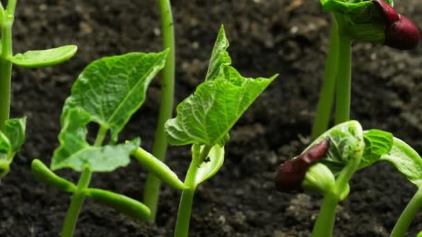 Growing Plant in timelapse, Fresh green leaves, sprouts germination newborn green bean plant in greenhouse agriculture, Develops after germination