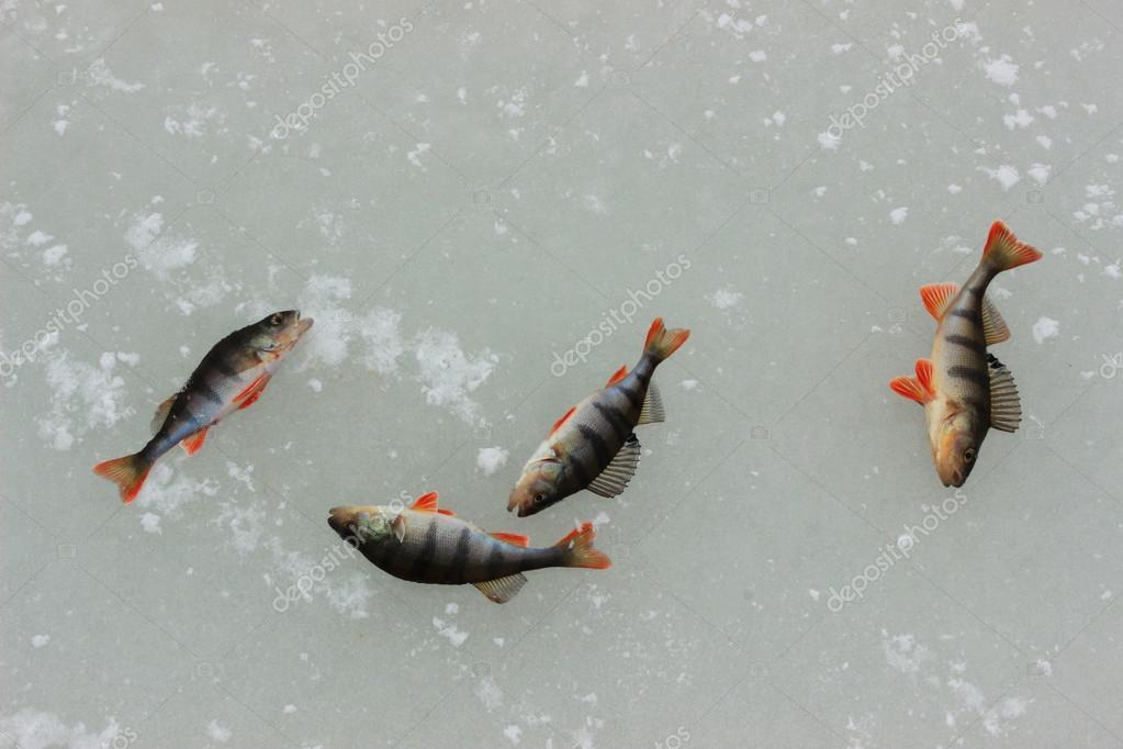 Winter Angeln Auf Zander Fischen Stockfoto C Stromtrek650 Gmail