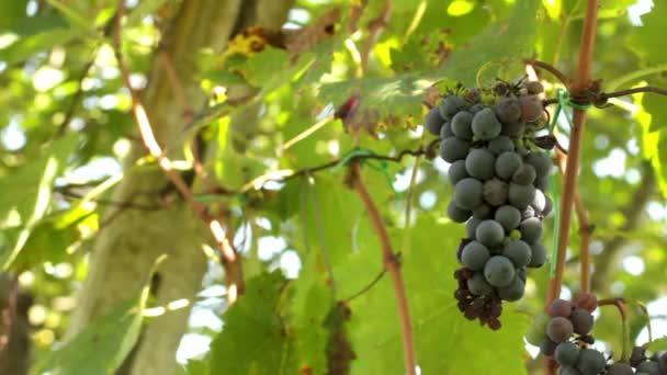 Landwirt ein Bündel Trauben ernten
