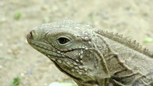 varano: video of a reptile, lizard, dragon