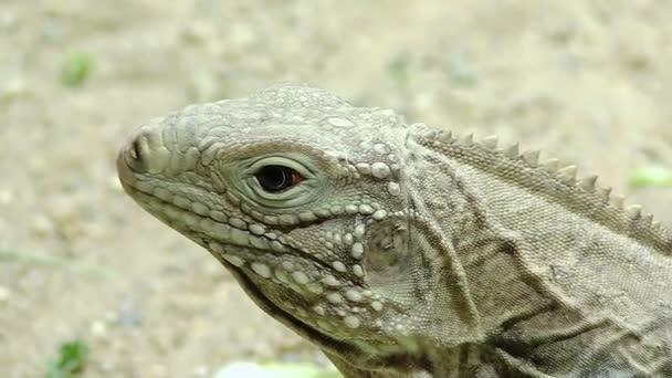 Varano: video di un rettile, lucertola, drago