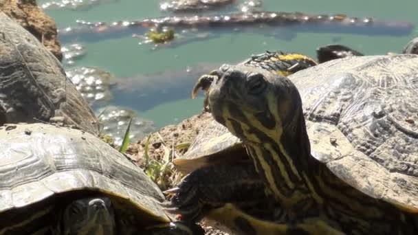 Sladkovodní želvy vyhřívají na slunci
