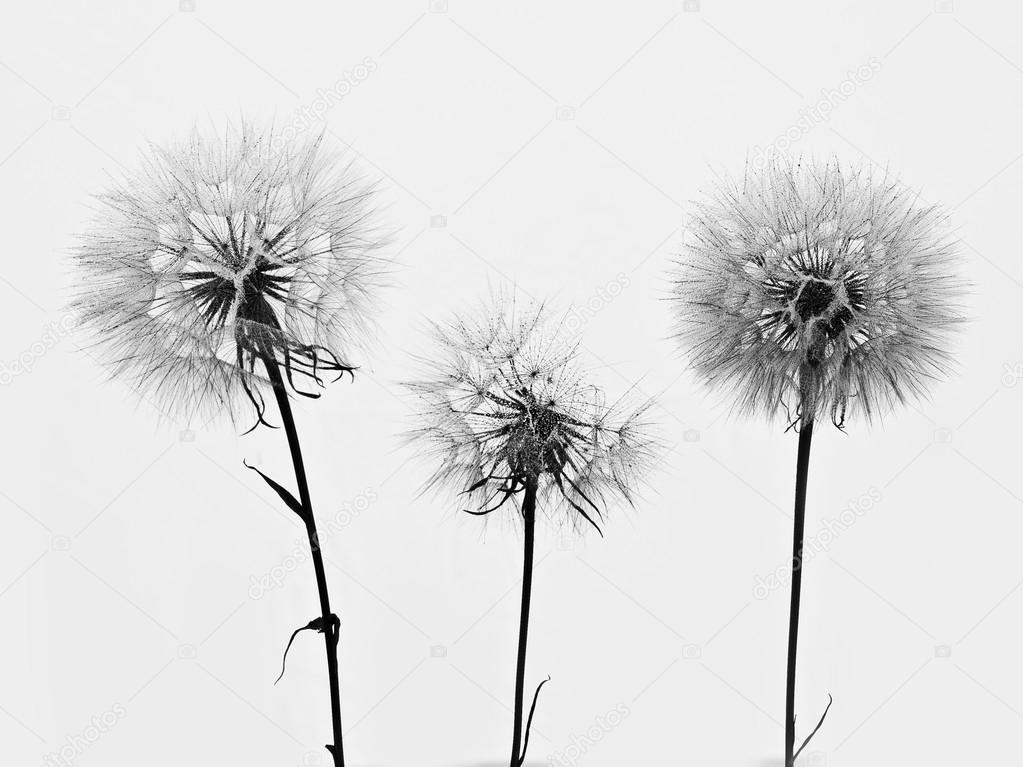 Dandelion 3 flowers
