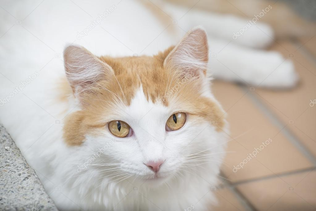 Beautiful Turkish Van cat