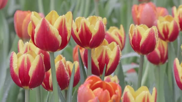 Fényes, színes tulipánok egy szeles tavaszi napon