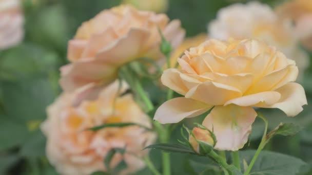 Krásná oranžová růže květina v zahradě na jaře