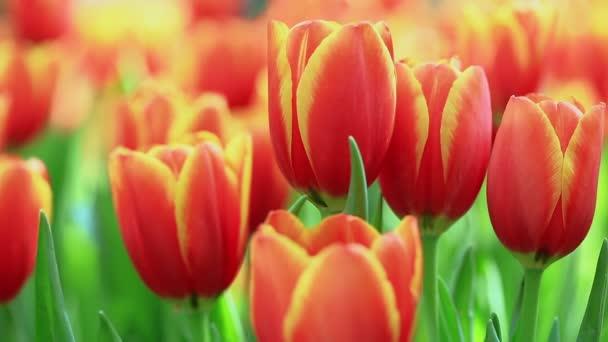 Jasné barevné tulipány za větrného jarního dne