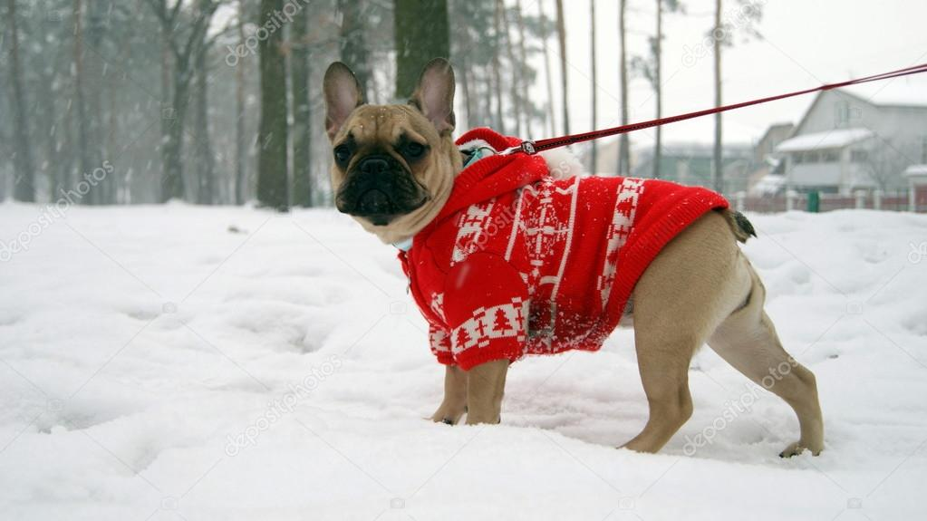 Francés Bulldog Bulldog Francés Roja Chaqueta En R0E0Ywxn