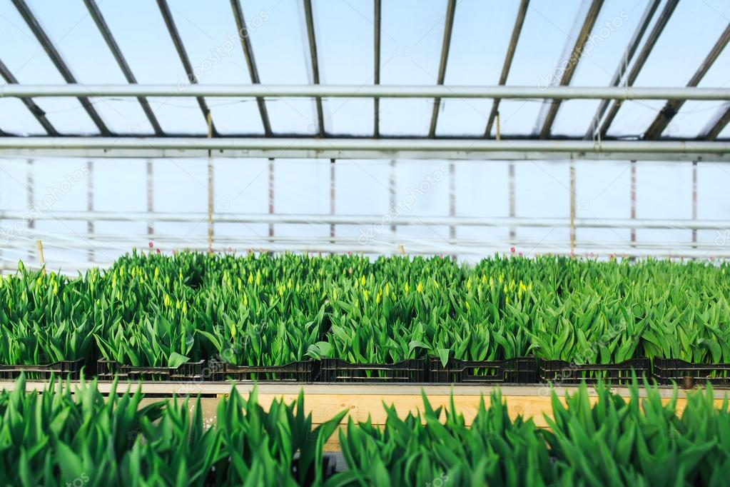 Cultivation of tulips in greenhouse  perspective