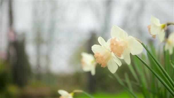 Narcisy květy na jaře kvetou v zahradě