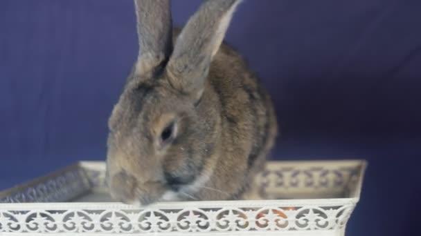 Dekorativní plemeno králíků králík