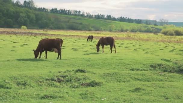 koně a krávy na pastvě procházky