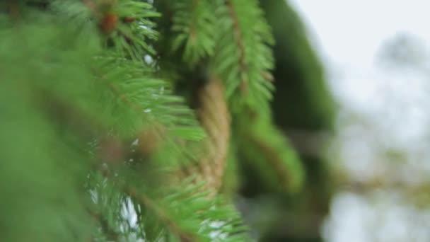Grüner Baum. Kiefer