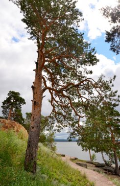 Lone pine on the shore of Lake, State National Natural Park