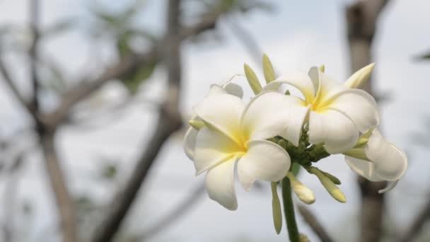 Plumeria květiny s lehký vítr proudící