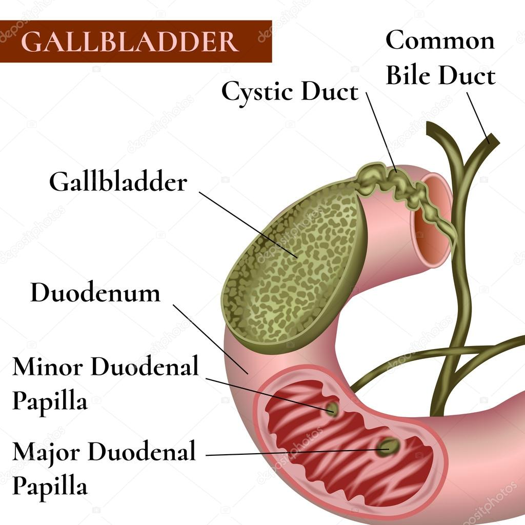 Gallenblase. Gallengang — Stockvektor © mrs.bazilio.gmail.com #109408814