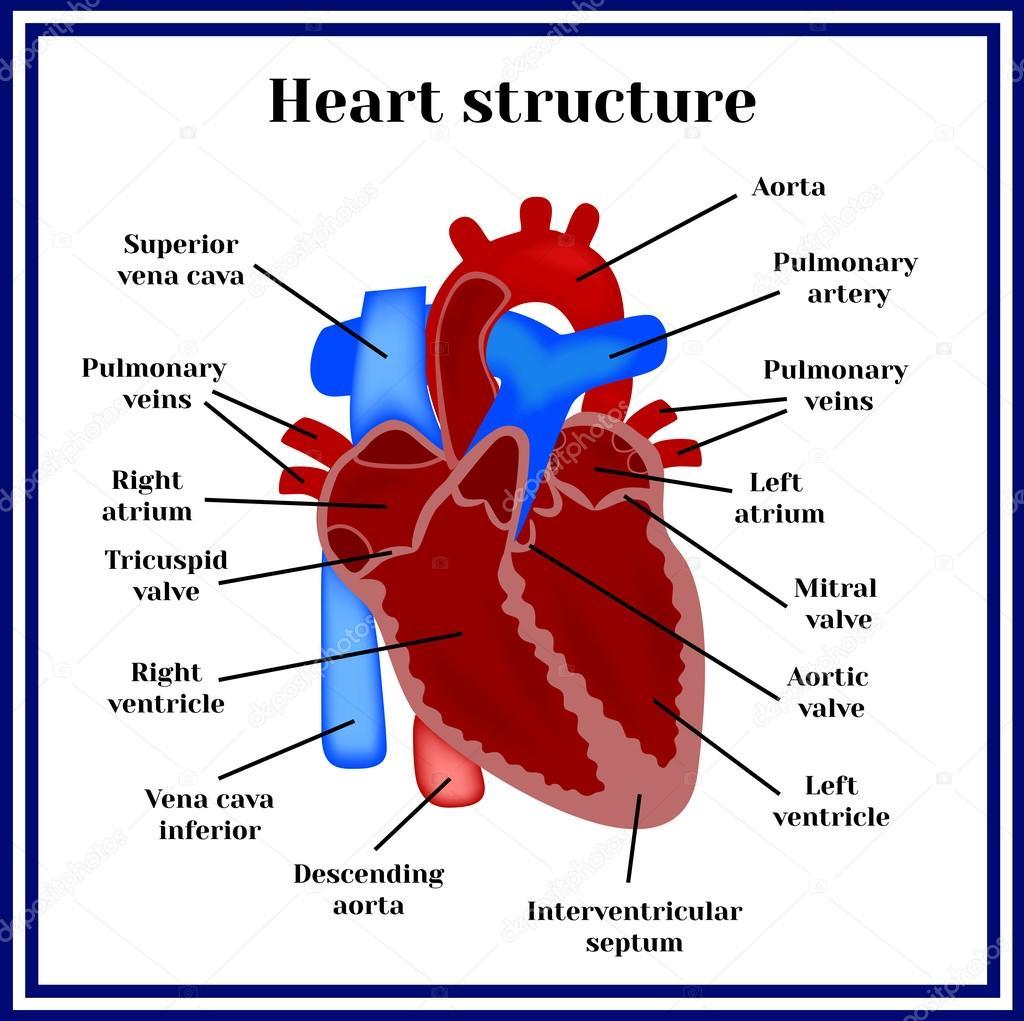 Estructura del corazón. El órgano del sistema circulatorio — Archivo ...
