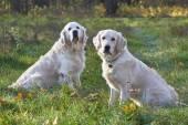 junge Hunde züchten golden retriever